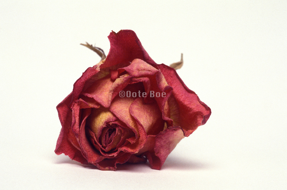 a still life of a dried red rose