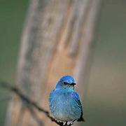 Mountain Bluebird (Sialia currucoides) Male sitting on fence line near nestbox. Bridger Mountains. Montana