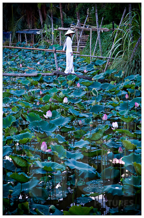 A vietnamese woman crosses a rustic wooden bridge over a lotus field. She wears traditional outfit Ao Dai and conical hat. Khanh Hoa area, Vietnam, Asia