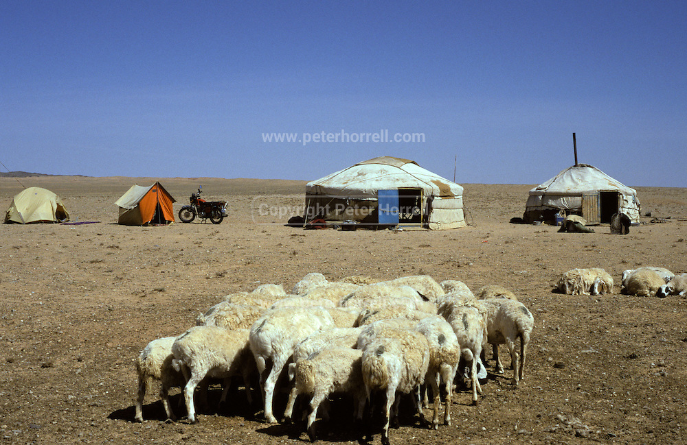 Mongolia, Gobi desert. July 1996: Sheep stand in front of gers and tents in the Gobi desert.