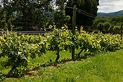 Vines at Longueville House, Mallow, Cork, Ireland.