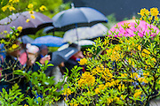 The rain comes down and the umbrellas are out for viewers of the Laurent-Perrier Chatsworth Garden. RHS Chelsea Flower Show, Chelsea Hospital, London UK, 18 May 2015.