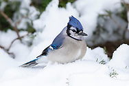 01288-05901 Blue Jay (Cyanocitta cristata) in Juniper Tree in winter Marion Co. IL