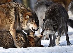 28.12.2014, Wildtierpark, Bad Mergentheim, GER, Wölfe im Wildtierpark Bad Mergentheim, im Bild Maennlicher Leitwolf, Alphawolf, Zurechtweisung eines Jungtiers, Rangordnung, Dominanz, Timberwolf, Kanadischer Wolf (Canis lupus occidentalis) im Schnee, captive // Wolves in the Wildtierpark in Bad Mergentheim, Germany on 2014/12/28. EXPA Pictures © 2015, PhotoCredit: EXPA/ Eibner-Pressefoto/ Weber<br /> <br /> *****ATTENTION - OUT of GER*****