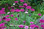65021-034.16 African Daisy (Osteospermum fruticosum 'wildside') MO