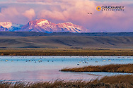 Birds in pond with Ear Mountain in background during spring migration at Freezeout Lake WMA near Choteau, Montana, USA