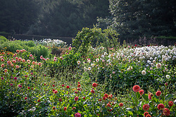General view of  dahlias in the cutting garden at Chatsworth House. Pear arch