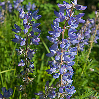 Silvery Lupine (Lupinus argenteus) flowers bloom in the Madison Range of the Rocky Mountains, near Big Sky, Montana