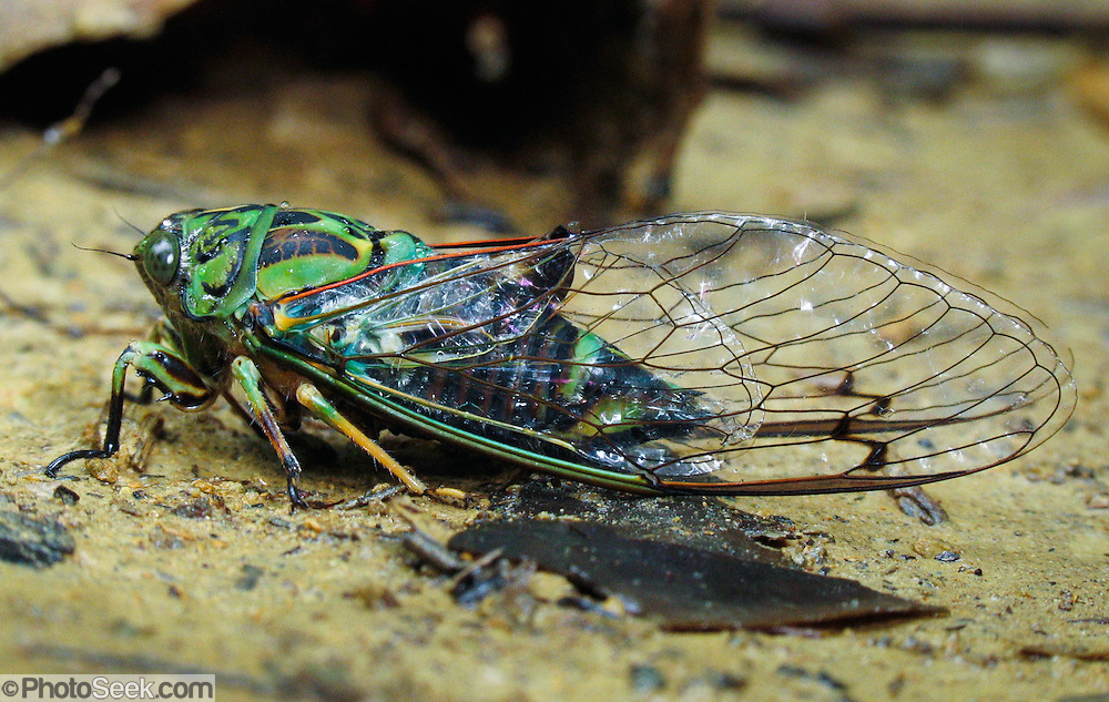 """Cicada insect, Queen Charlotte Track, South Island, New Zealand. Published in """"Light Travel: Photography on the Go"""" by Tom Dempsey 2009, 2010."""