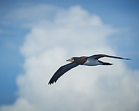 Brown Booby (Sula leucogaster) in flight. Viewed from the deck of the MV Explorer traveling between Costa Rica and Panama. Image taken with a Nikon D3s camera and 70-300 mm VR lens