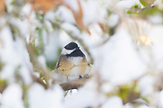 A chestnut-backed chickadee (Poecile rufescens) rests on the branch of a snow-covered rhododendron in Snohomish County, Washington. Chickadees use nocturnal hypothermia, allowing their core body temperature to fall at night to conserve as much as one-third of their energy.