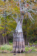 Bald cypress tree deciduous conifer, Taxodium distichum, showing high water marks  in Atchafalaya Swamp, Louisiana USA