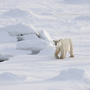 A very lean and seemingly old polar bear (Ursus maritimus) wanders the coast of Hudson Bay waiting for the ice to freeze. Canada