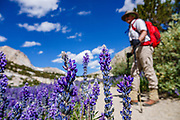 A hiker pauses to admire a field of purple-blue lupin flowers blooming on Piute Pass Trail (9.7 miles, 2200 ft gain) in John Muir Wilderness, Inyo National Forest, Mono County, California, USA.