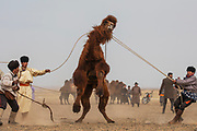 A competition at a local camel fair with a wild Bactrian camel in the remote Gobi Desert, Gobi Desert, Mongolia