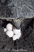 nesting olive ridley sea turtle, Lepidochelys olivacea, laying eggs on Playa Ostional, Costa Rica ( Eastern Pacific )