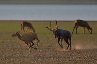 Père David's deer, or Milu, Elaphurus davidianus, a stag chasing females by the ater in Hubei Tian'ezhou Milu National Nature Reserve, Shishou, Hubei, China. The dominant harem-keeping stag in the herd.
