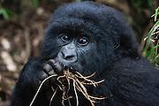 A close-up of an endangered mountain gorilla eating a root (Gorilla beringei beringei), Volcanoes National Park, Rwanda