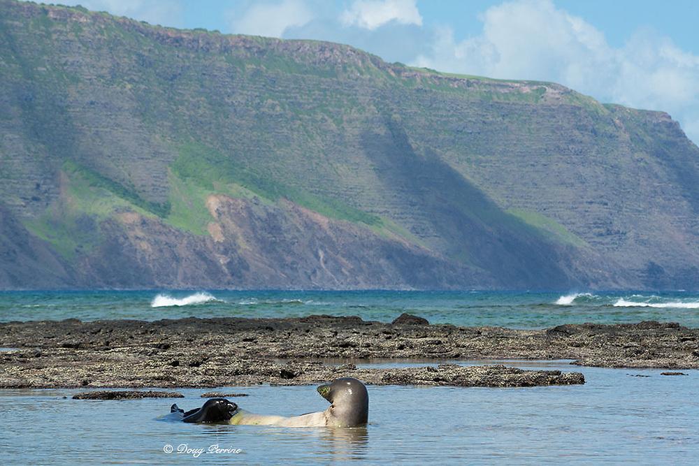 Hawaiian monk seals, Neomonachus schauinslandi (formerly Neomonachus schauinslandi ), four week old pup cries to mother for a feeding, Iliopi'i Beach, Kalaupapa Peninsula, Molokai Island, Hawaii, USA ( Pacific Ocean )