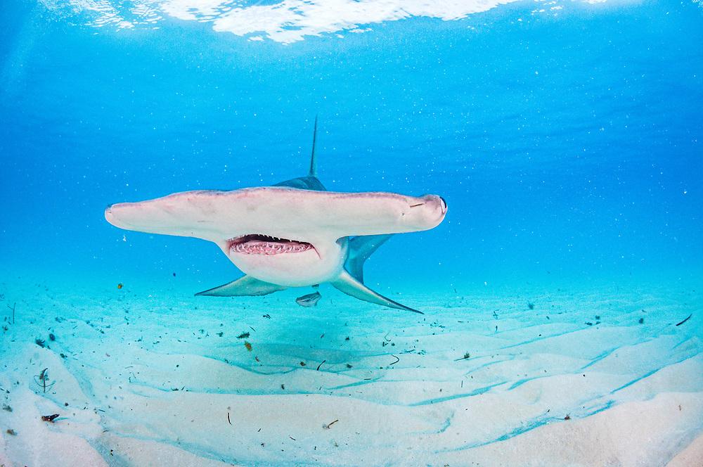 The broad head of a Great hammerhead shark (Sphyrna mokarran) swimming over a sandy seabed, Bimini, Bahamas.