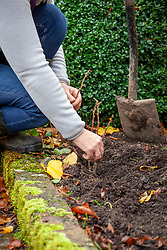 Taking hardwood cuttings of Ribes nigrum - blackcurrants - placing cuttings in a trench