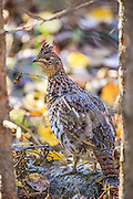 Ruffed grouse in fall habitat
