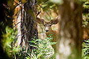 10 AUGUST 2003 -- GRAND CANYON NATIONAL PARK, AZ: A mule deer buck, its antlers in velvet on the north rim of the Grand Canyon National Park in northern Arizona.  PHOTO BY JACK KURTZ