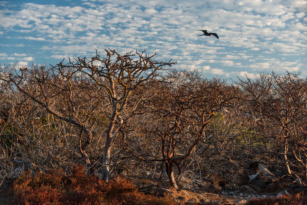 Dwarf Palo Santo (Bursera malacophylla)<br /> North Seymour Island<br /> Galapagos Islands<br /> Ecuador<br /> South America<br /> ENDEMIC