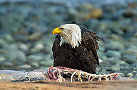 Bald Eagle (Haliaeetus leucocephalus), feeding on seal carcass washed up on beach, Oyster Bay, nr Cambell River, Vancouver Island, Canada   Photo: Peter Llewellyn