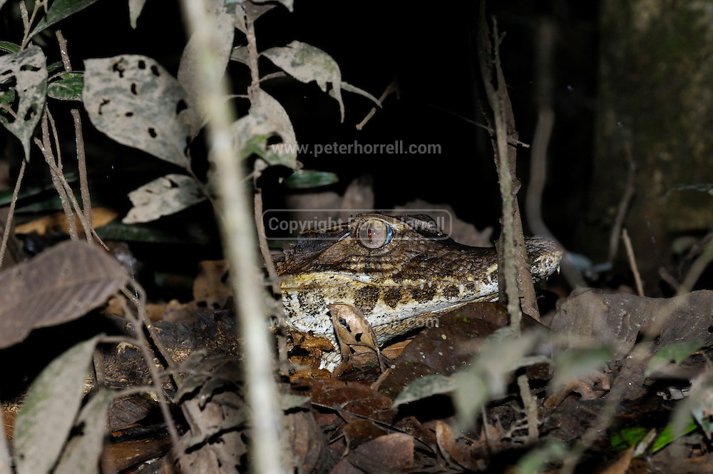 Ecuador, May 13 2010: A Caiman sits on the bank of a river in the Cuyebeno Reserve. Copyright 2010 Peter Horrell