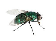 Greenbottle - Lucila caesar