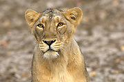 Female asiatic lion (anthera leo persica) at Gir National Park.