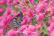 03004-00719 Pipevine Swallowtail (Battus philenor) on New England Aster (Aster novae-angliae 'Alma Potschke')Marion Co.  IL