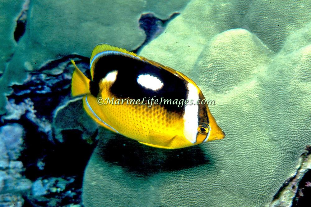Fourspot Butterflyfish inhabit reefs. Picture taken Solomon Islands.