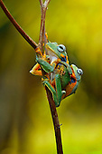 mother frog carrying her baby