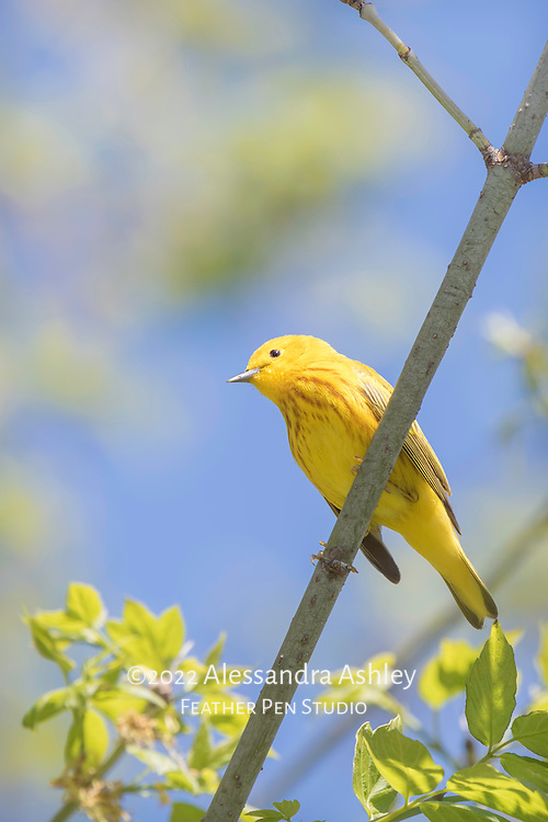 Yellow warbler, a tiny, colorful songbird in the wood-warbler family. Photographed at Magee Marsh Wildlife Area in northwest Ohio, a prime stopover point for neotropical migratory birds in spring.