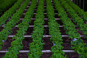 Itabirito_MG, Brasil...Horta hidroponica. Na foto, producao de alfaces...hydroponic garden. In this photo, the lettuce production...Foto: LEO DRUMOND / NITRO