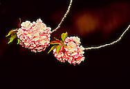 Cherry Blossoms, Brooklyn Botanic Garden, Brooklyn, New York, two cherry blossom branches