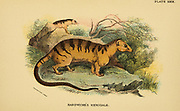 Hardwicke's Hemigale (Hemigale hardwickii) From the book ' A handbook to the carnivora : part 1 : cats, civets, and mongooses ' by Richard Lydekker, 1849-1915 Published in 1896 in London by E. Lloyd