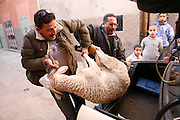 Marrakech, Maroc. 20 Decembre 2007..Aid El Kebir est une des fetes les plus importantes de l'Islam. ..Marrakesh, Morocco. December 20th 2007..After buying a sheep at the souk Mustapha (left) and his friend Khalid get it out of the trunk and bring it into his house the day before Aïd-al-Kebir. Eid Al-Adha is one of the most important celebrations in the Islam traditions..