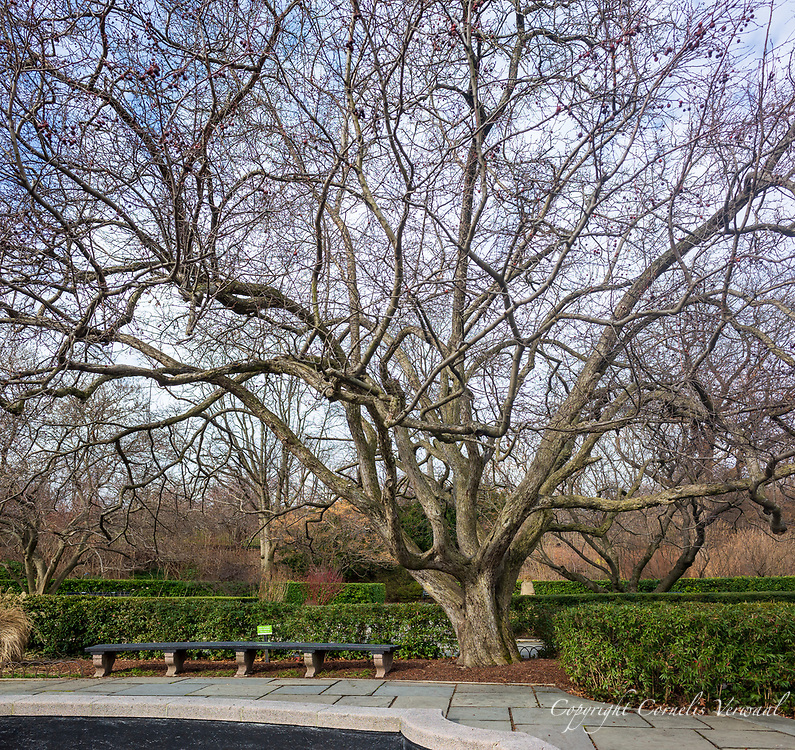 Japanese Crabapple in the Conservatory Garden of Central Park
