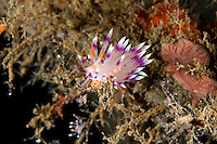 Flabellina Nudibranchs laying eggs<br /> <br /> shot in Indonesia