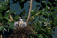 Black Baza, Aviceda leuphotes, chick in nest spreading its wings, Guangshui, Hubei province, China