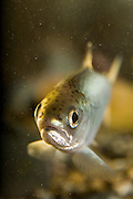 A coho salmon fry (Oncorhynchus kisutch), an endangered species. Captive.