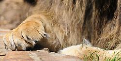 08.06.2011,Tiergarten Schoennbrunn, Wien, AUT, Chronik, im Bild Loewenpfote // lion paw, chronicle, AUT, Vienna, zoological garden Schoennbrunn, 2011-08-06, EXPA Pictures © 2011, PhotoCredit: EXPA/ M. Gruber