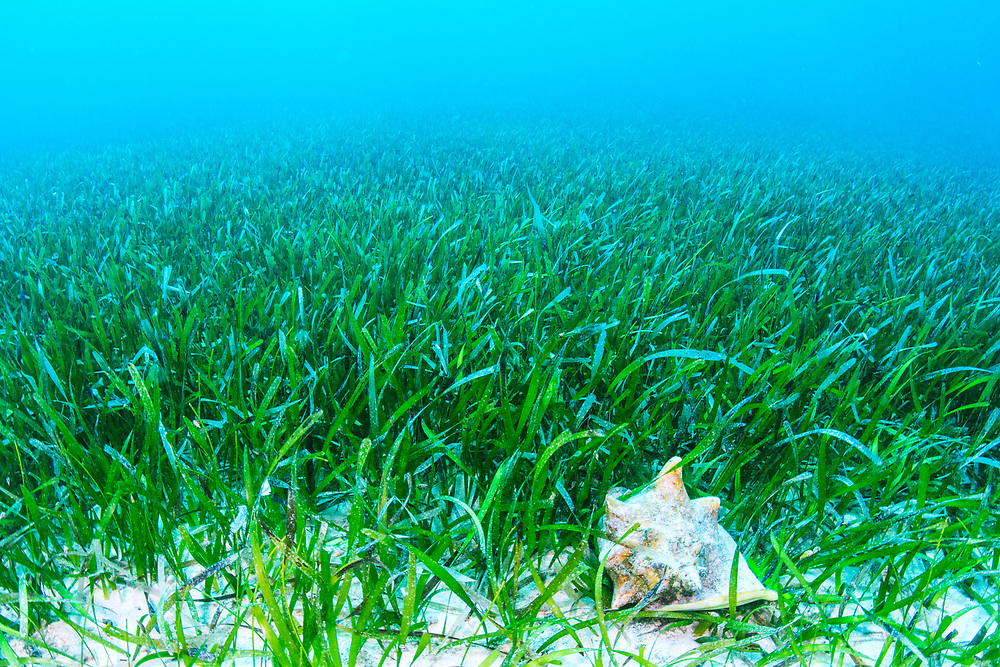A queen conch (Lobatus gigas) feeding on the algae growing on seagrass (Thalassia testudinum). Image made in Exuma, Bahamas.