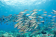 school of yellowfin goatfish or weke 'ula, Mulloidichthys vanicolensis, Honokohau, Kona, Hawaii Island ( the Big Island ), Hawaii, USA ( Central Pacific Ocean )