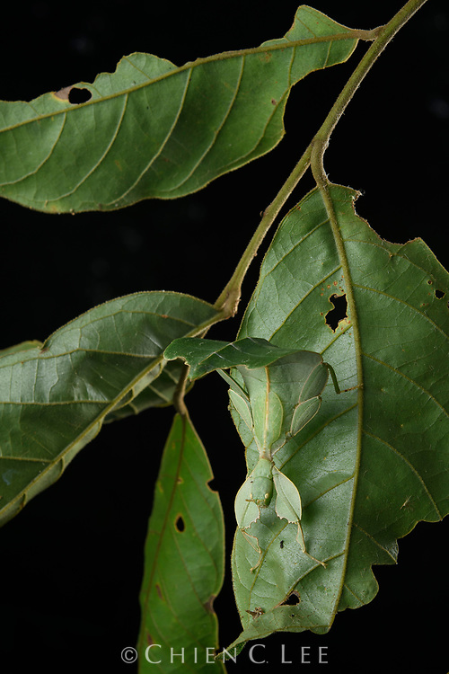 Among the most cryptically camouflaged of all invertebrates, leaf insects (Phyllium spp.) are difficult to find in their natural habitat. Many new species have been described from Southeast Asia in recent years. This is a subadult female (P. arthurchungi) from the rainforest of northern Borneo.