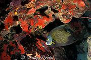 French angelfish, Pomacanthus paru, Biscayne National Park, Florida ( Atlantic Ocean )