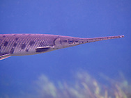 Longnose Gar<br /> <br /> Bryce Gibson/Engbretson Underwater Photography